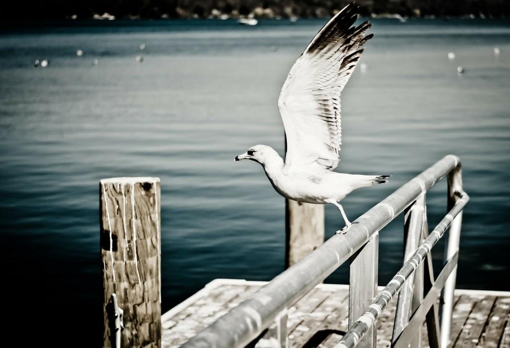 seagull-238451_1280