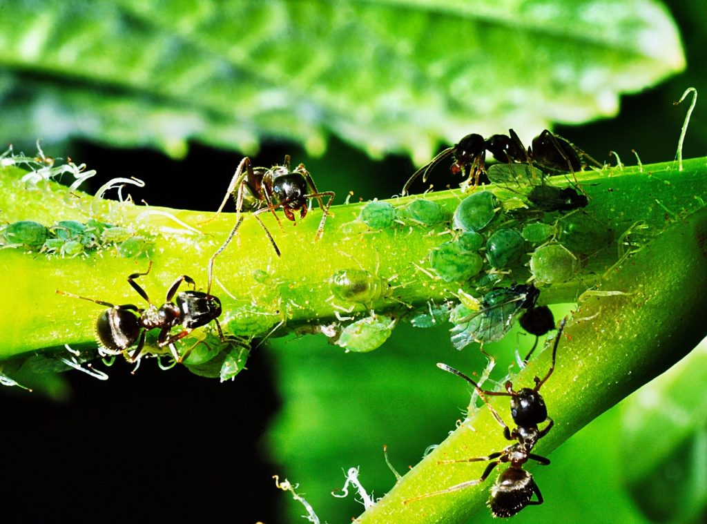 aphids-1432792_1280