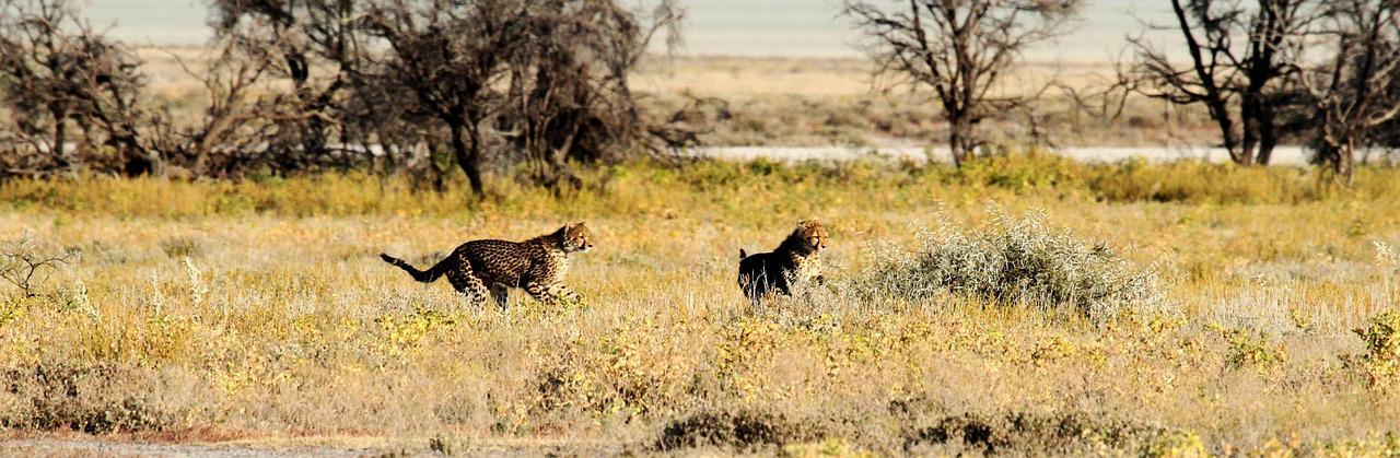 cheetah-1305790_1280
