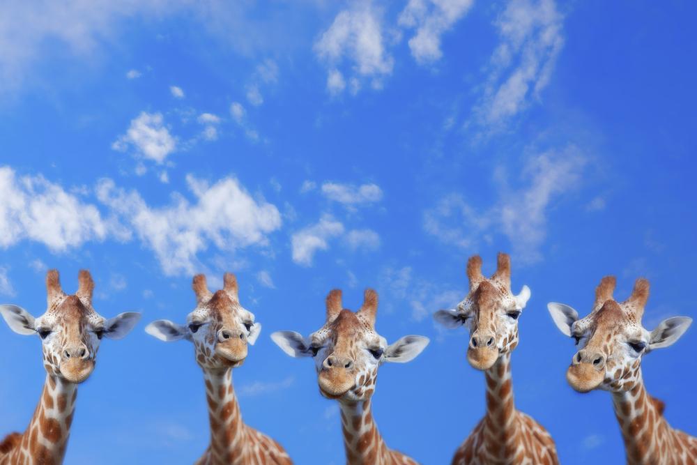 5 Giraffenköpfe vor blauem Himmel
