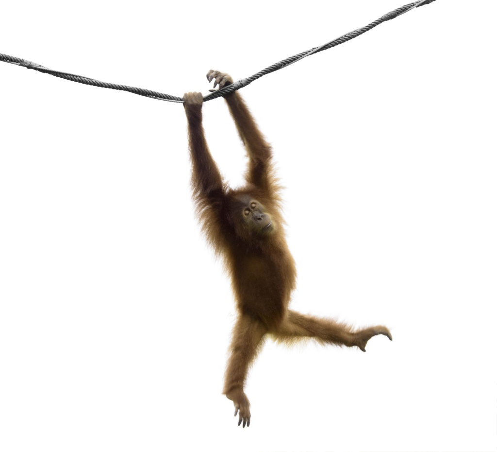 Orang Utan Baby hangelt sich an einem Seil entlang